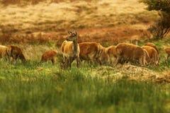 Grand troupeau de cerfs communs rouges pendant l'ornière Photographie stock