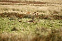 Grand troupeau de cerfs communs rouges pendant l'ornière Photo libre de droits