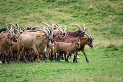 Grand troupeau de chèvres et de moutons sur l'herbe verte Photos stock