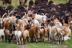 Grand troupeau de chèvres et de moutons sur l'herbe verte Photos libres de droits