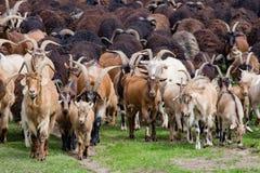 Grand troupeau de chèvres et de moutons sur l'herbe verte Image stock