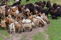 Grand troupeau de chèvres et de moutons sur l'herbe verte Image libre de droits