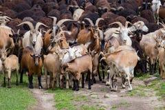 Grand troupeau de chèvres et de moutons sur l'herbe verte Photographie stock libre de droits