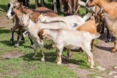 Grand troupeau de chèvres et de moutons sur l'herbe verte Photo libre de droits