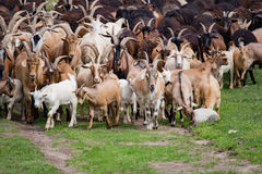 Grand troupeau de chèvres et de moutons sur l'herbe verte Images stock