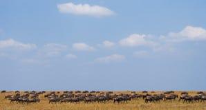 Grand troupeau de gnou dans la savane Transfert grand kenya tanzania Masai Mara National Park photo libre de droits