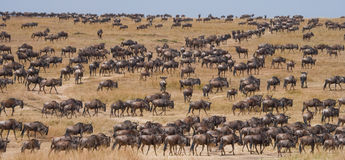 Grand troupeau de gnou dans la savane Transfert grand kenya tanzania Masai Mara National Park photos stock