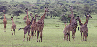 Grand troupeau de marche de giraffes Photographie stock