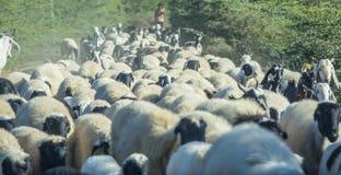 Grand troupeau de moutons Images libres de droits