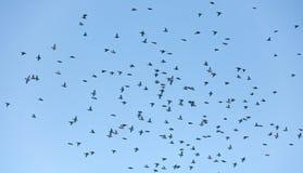 Grand troupeau de vol des jaseurs Photo libre de droits