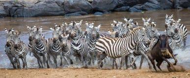 Grand troupeau de zèbres se tenant devant la rivière kenya tanzania Stationnement national serengeti Maasai Mara Photographie stock