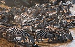 Grand troupeau de zèbres se tenant devant la rivière kenya tanzania Stationnement national serengeti Maasai Mara Image libre de droits