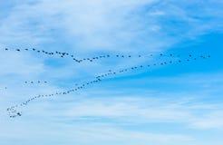 Grand troupeau des cormorans volant dans la formation de V Image stock
