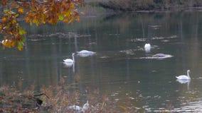 grand troupeau des cygnes blancs banque de vidéos