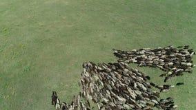 Grand troupeau des moutons banque de vidéos
