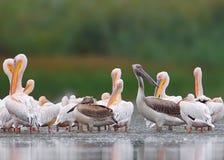 Grand troupeau des pélicans blancs du delta de Danube Images libres de droits