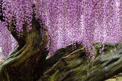 Grand Twisted Wisteria Trunk. Century-old wisteria vine in with full purple blooms on a windy, rainy day Stock Images