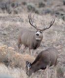 Grand type de cerfs communs de mule Photographie stock libre de droits