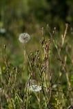 Grand type fleur de pissenlit Photo stock