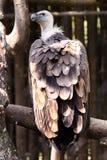 grand vautour Images libres de droits