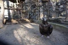 Grand vautour d'oiseau dans une cage images libres de droits