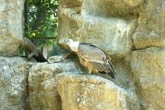 Grand vautour de griffon sur une roche Images stock