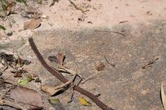 Grand ver de terre sur le plancher Images stock
