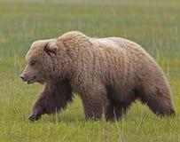 Grand verrat d'ours brun Photo libre de droits