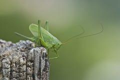 Grand verte de sauterelle - Hautes-VOSGES Images libres de droits