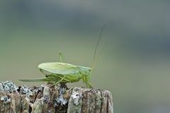 Grand verte de sauterelle - Hautes-VOSGES Photographie stock