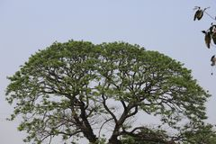 Grand vieil arbre photo libre de droits