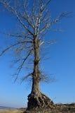 Grand vieil arbre Images libres de droits