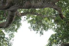 Grand vieil arbre avec la feuille image stock