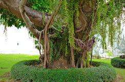 Grand vieil arbre de Beautifu photos stock