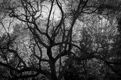 Grand vieil arbre en noir et blanc Photographie stock