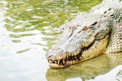 Grand vieux crocodile puissant d'eau douce entrant dans l'eau d'une berge Regardant fort, entrée évidente de dents dans l'eau images stock