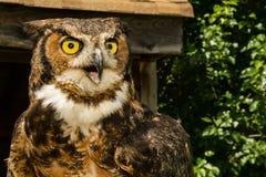 Grand virginanus à cornes d'Owl Bubo Photos libres de droits
