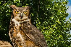 Grand virginanus à cornes d'Owl Bubo Image stock