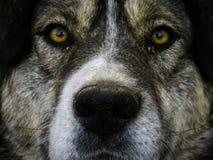 Grand visage brun de chiens images libres de droits