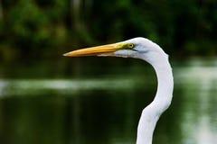 Grand visage de héron (Ardea alba) Image stock