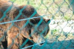 Grand visage masculin d'ours avec de belles cicatrices photos stock