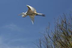 Grand vol de héron au-dessus d'un marais à St Augustine, la Floride photo libre de droits