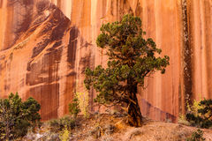 Grand Wash Canyon with Juniper Stock Image