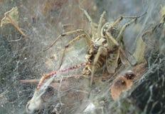 Grand Web spider d'entonnoir avec une sauterelle Image libre de droits