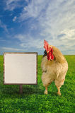 Grand white cock beside the blank white billboard - soft focus Royalty Free Stock Image