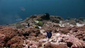 Grand wrasse de thon de poissons de Trevallies d'oeil sous-marin sur le fond de la mer clips vidéos