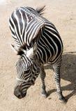 Grand zèbre à une ferme de safari de pays Images libres de droits