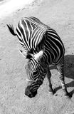 Grand zèbre à une ferme de safari de pays Photos libres de droits
