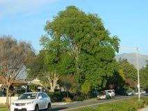 Grande árvore Imagem de Stock