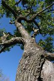 Grande árvore Fotos de Stock Royalty Free